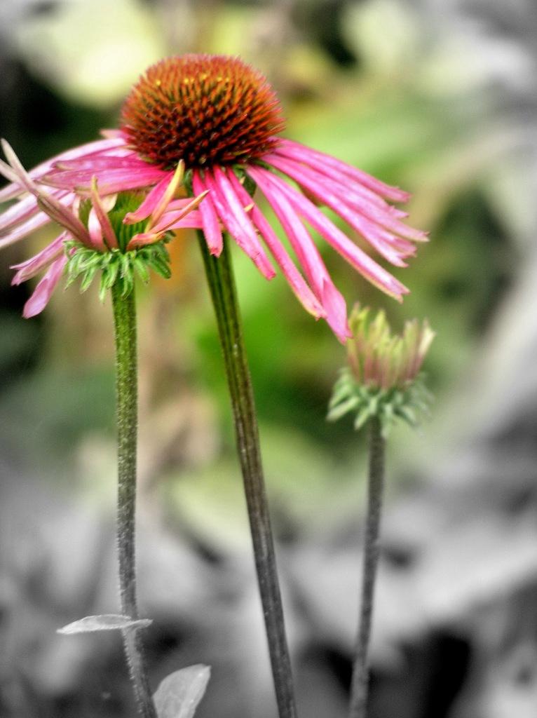 close up of echinacea blossom