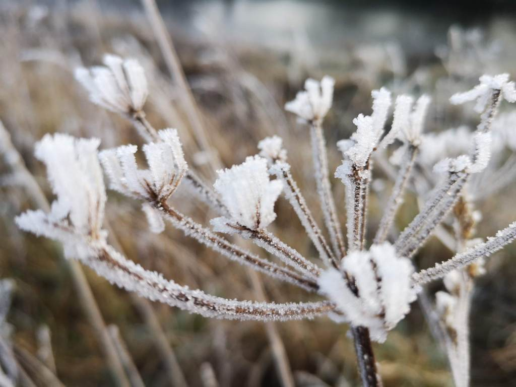 frost covered inflorescence