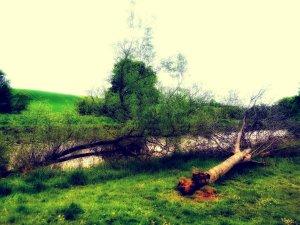 Two fallen trees